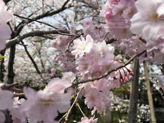 桜の写真・画像素材[1098355]