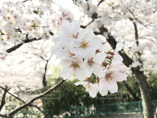 桜の写真・画像素材[1098356]