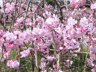 桜の写真・画像素材[1098358]