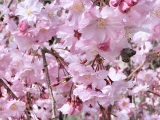 桜の写真・画像素材[1098359]