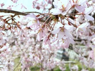 桜の写真・画像素材[1098360]