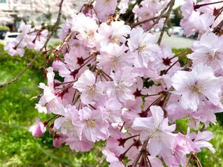 枝垂れ桜の写真・画像素材[1098362]