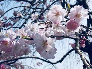 枝垂れ桜の写真・画像素材[1098363]