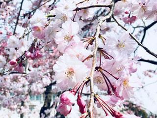 枝垂れ桜の写真・画像素材[1098364]