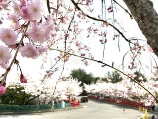 桜の写真・画像素材[1098385]