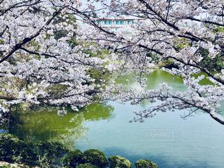 桜、水辺の写真・画像素材[1098386]