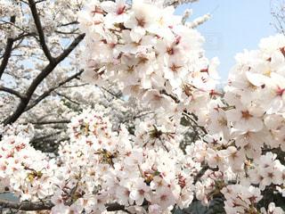 桜の写真・画像素材[1098388]
