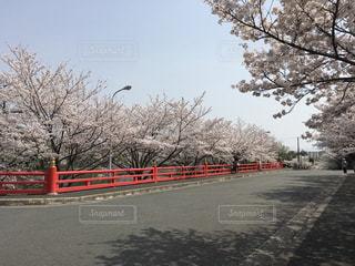 赤い橋と桜の写真・画像素材[1098390]
