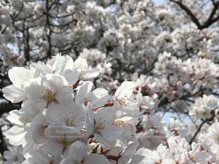 桜の写真・画像素材[1098391]