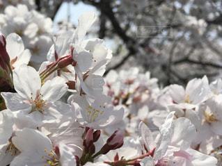 桜の写真・画像素材[1098393]