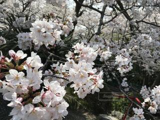 桜の写真・画像素材[1098394]