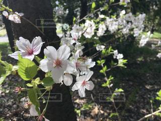 桜の写真・画像素材[1098405]