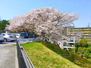 桜の写真・画像素材[1098408]