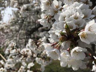 桜の写真・画像素材[1098409]
