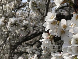 桜の写真・画像素材[1098411]