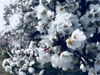 桜の写真・画像素材[1098412]