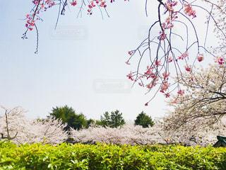 桜の写真・画像素材[1098414]