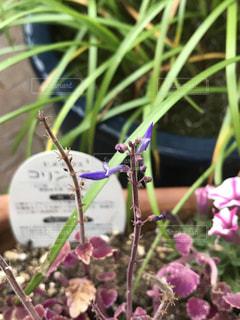 玄関先のプランターに咲く花の写真・画像素材[883607]
