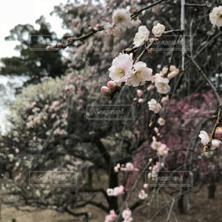 道明寺天満宮の梅園の写真・画像素材[1042447]
