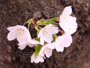 桜 - No.1009032