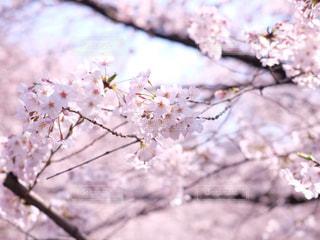 桜 - No.1009034