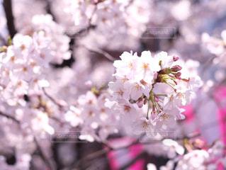 桜 - No.1009035