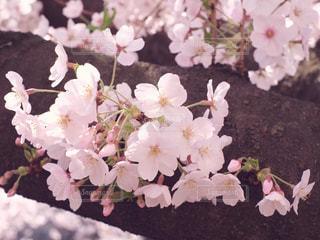 桜 - No.1009037