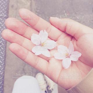 桜 - No.1060393