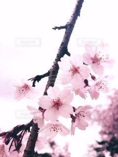 桜 - No.1060394