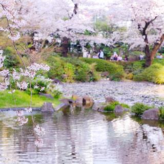 桜の写真・画像素材[1092732]