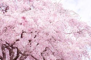 桜の雨の写真・画像素材[1155697]