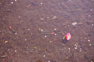 ピンクの花の写真・画像素材[1155699]