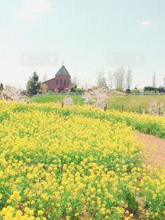 菜の花畑の写真・画像素材[1157191]