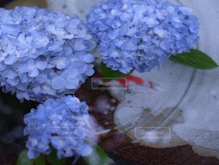 紫陽花の写真・画像素材[1157207]
