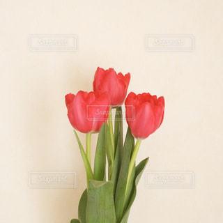 赤のチューリップの写真・画像素材[2913600]
