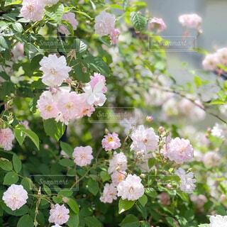 庭のバラの写真・画像素材[4413022]