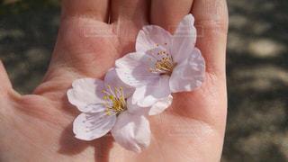 手のひらに桜の写真・画像素材[884510]