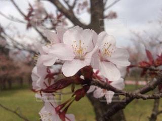 桜の写真・画像素材[884511]