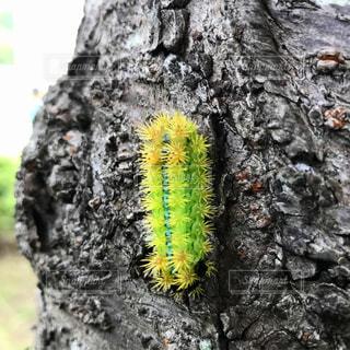 イラガの幼虫の写真・画像素材[884770]