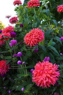 近くにピンクの花の束のアップ - No.886120