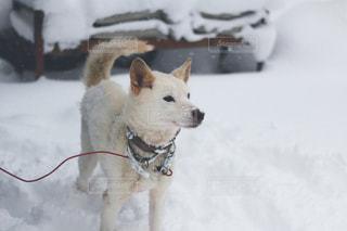 雪で覆われている犬の写真・画像素材[1016807]