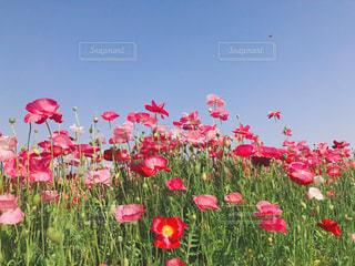 赤いポピー畑の写真・画像素材[2123384]