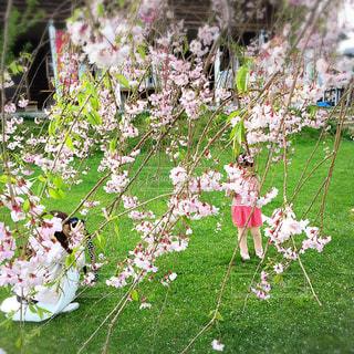 桜の木の下での写真・画像素材[886394]