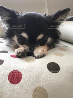 ベッドの上で横になっている黒犬の写真・画像素材[887345]