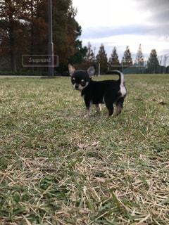 芝生に覆われた畑の上に立っている犬の写真・画像素材[2784488]