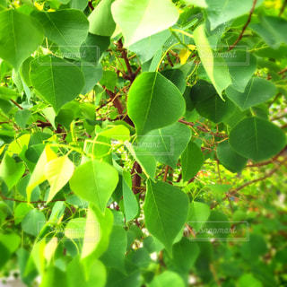 近くの木からぶら下がって緑のバナナの束を - No.902691