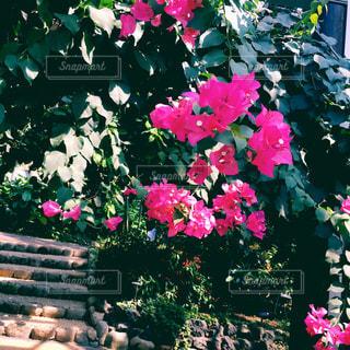ピンクの花の写真・画像素材[908322]