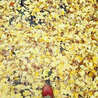 秋の紅葉の写真・画像素材[913065]