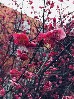 梅の花の写真・画像素材[1786275]