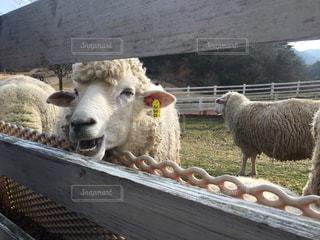 羊のスマイル❤︎の写真・画像素材[889266]